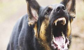 धूरी में हुई दर्दनाक घटना, पतंग लूट रहे 6 साल के बच्चे को कुत्तों ने नोचा, हुई मौत